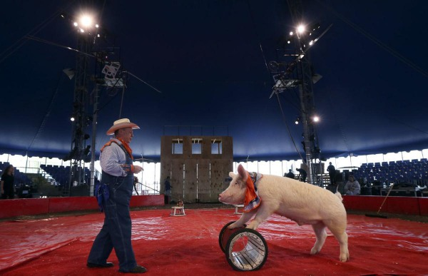 Les Kimes as Cousin Grumpy rehearses with a pig for the upcoming show